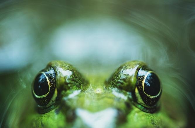 カエルの目