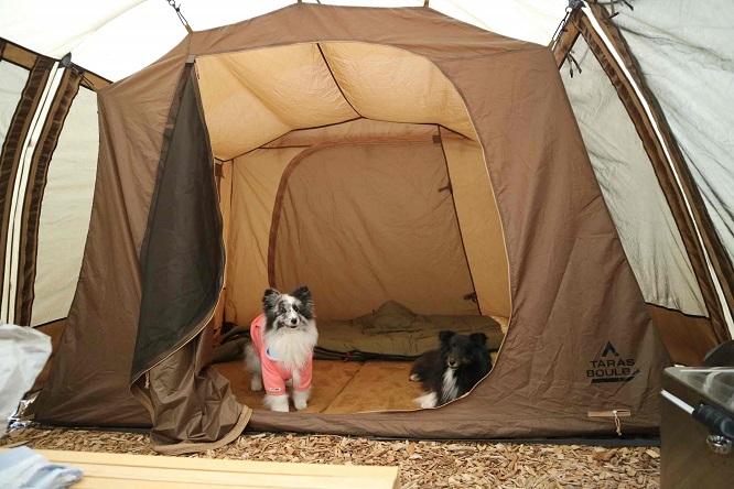 テントの中にシェルティ2頭
