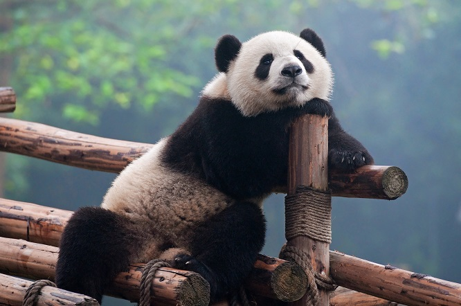 だらりとくつろいでいるパンダ